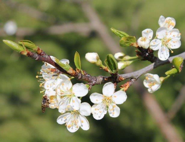 Hvide blomster på frugttræ