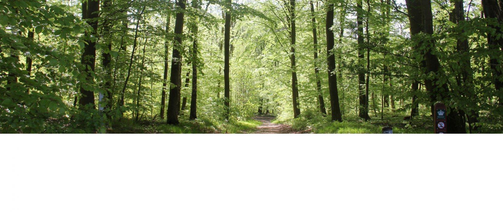 Skovsti omgivet af træer med lysegrønne blade
