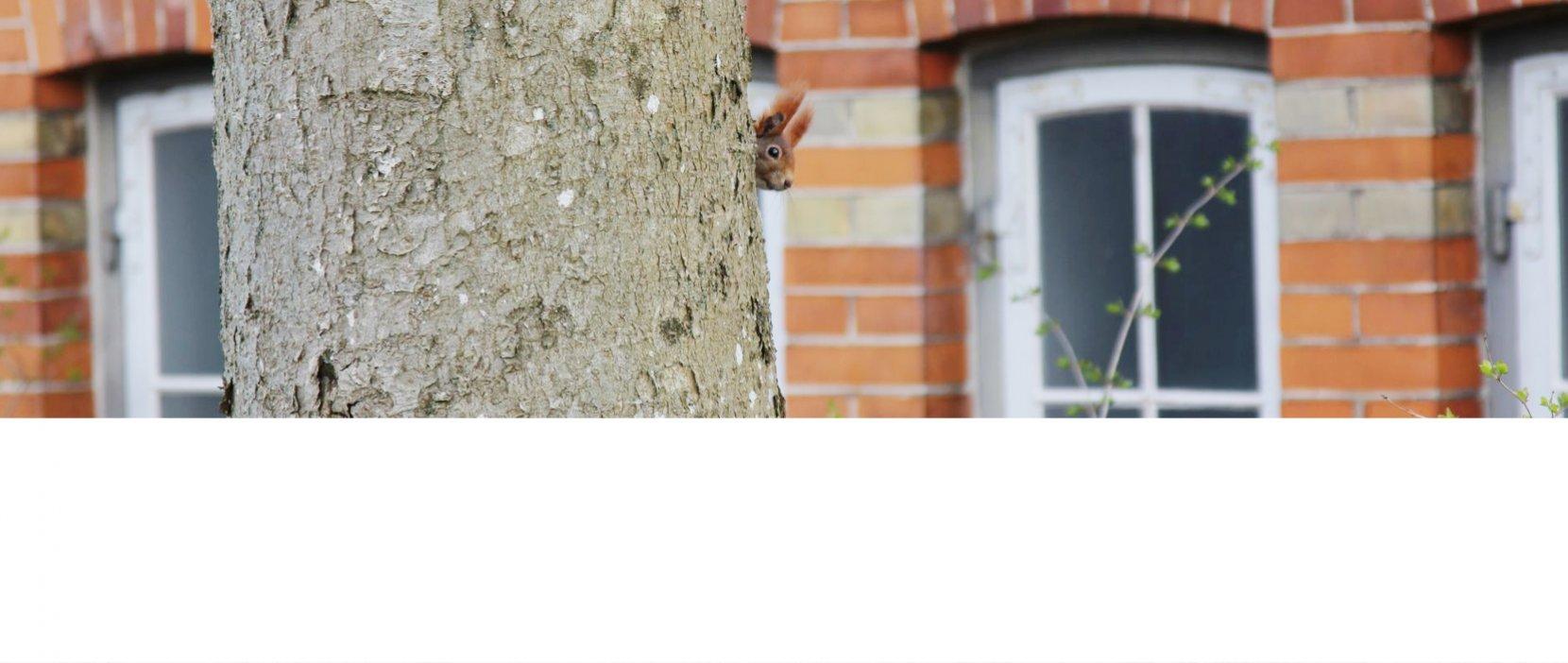 Egern gemmer sig bag træstamme